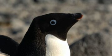 pinguinada